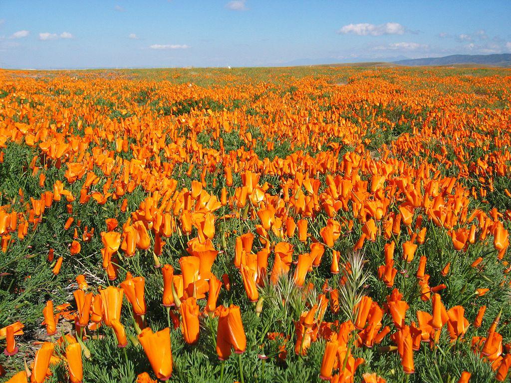 California Golden Poppies California