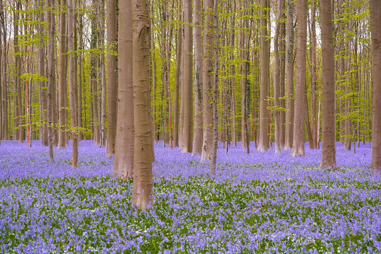 Forest Flowers Wild Hyacinth Hallerbos Bluebell