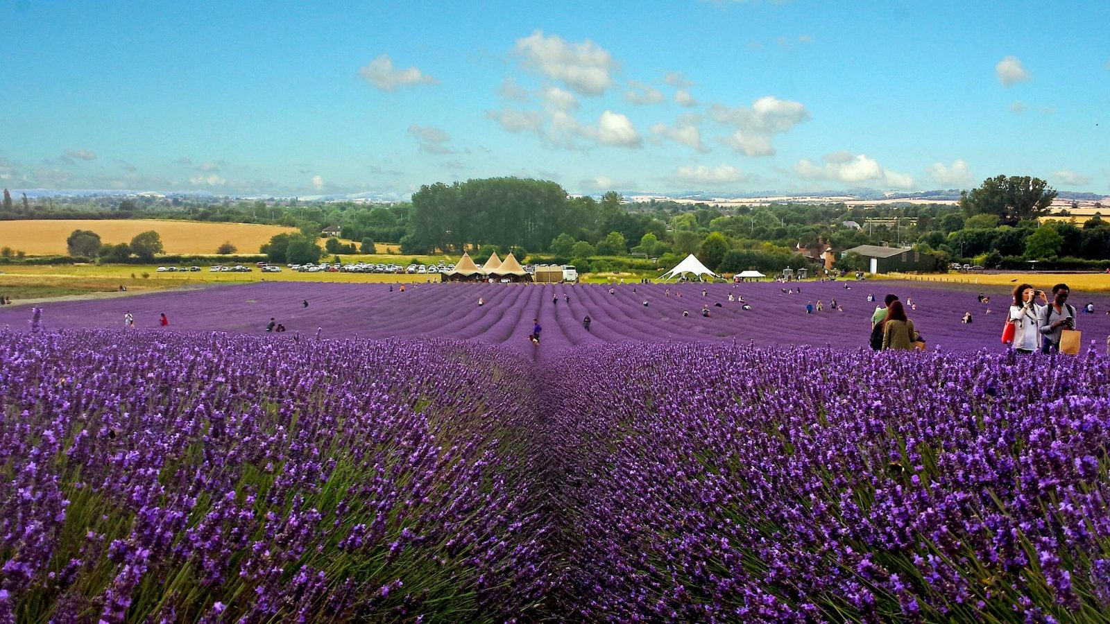 Hitchin Lavender field London England