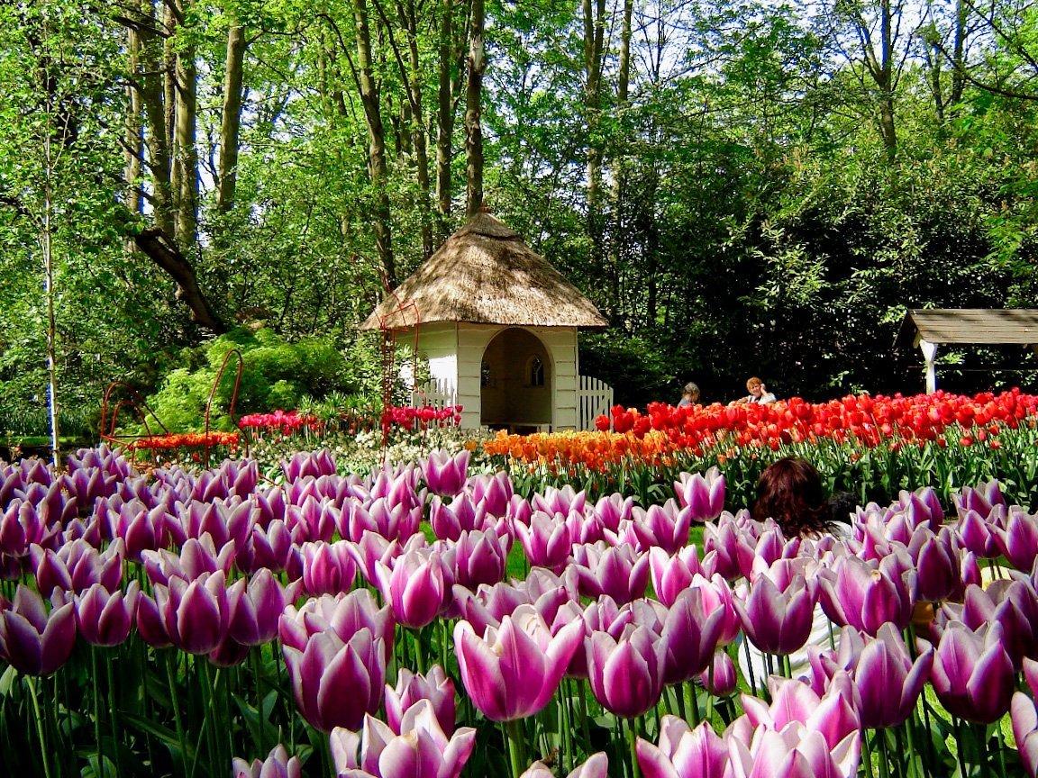 Keukenhof tulip festival Amsterdam