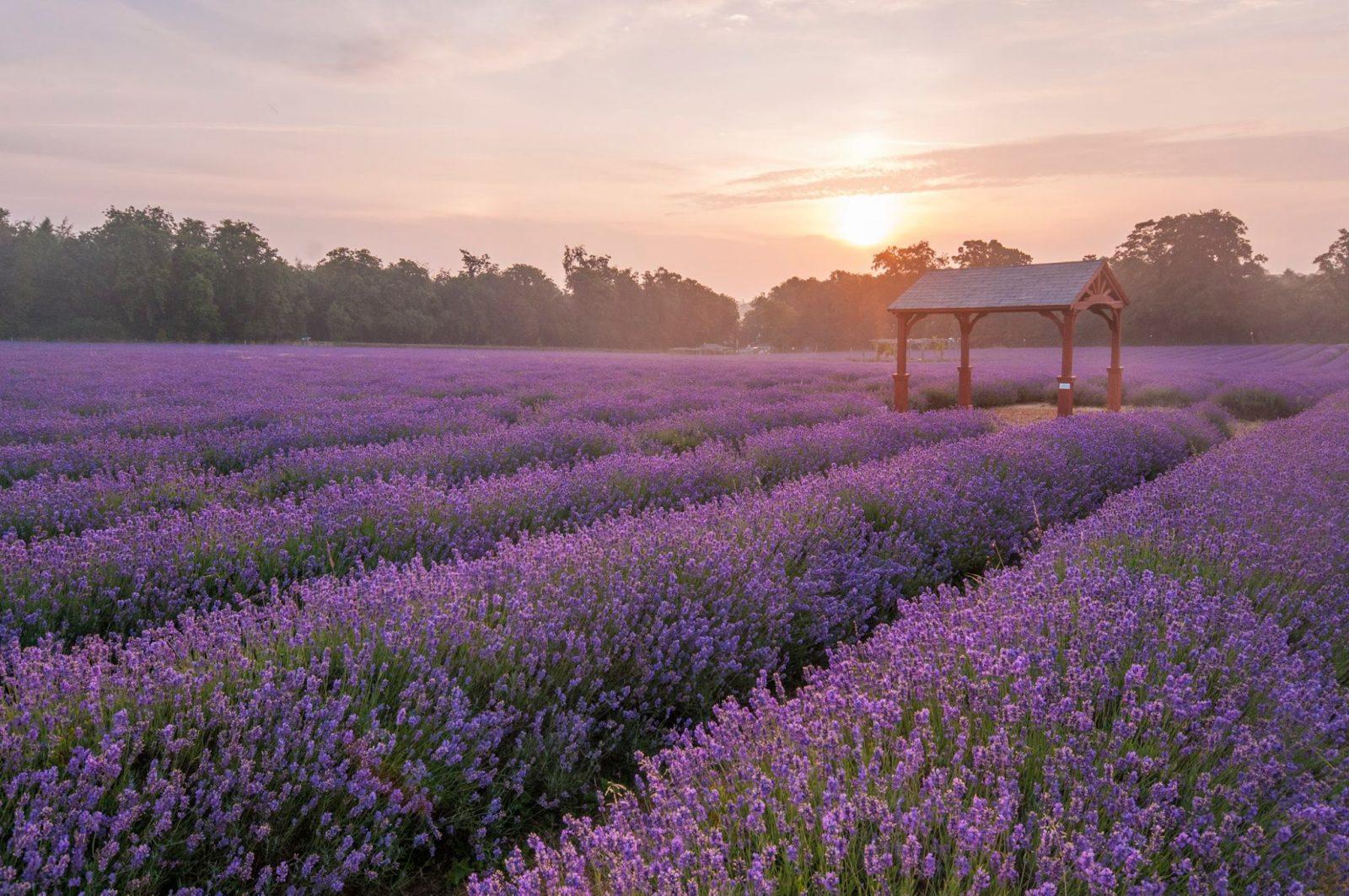 lavender field in london Mayfield