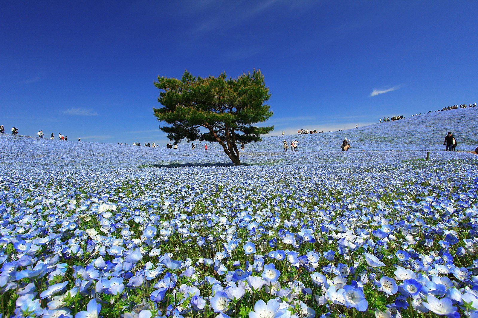 Nemophila Hitachi Seaside Park Japan