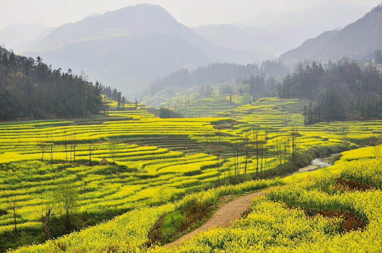 Rapeseed fields in Luoping