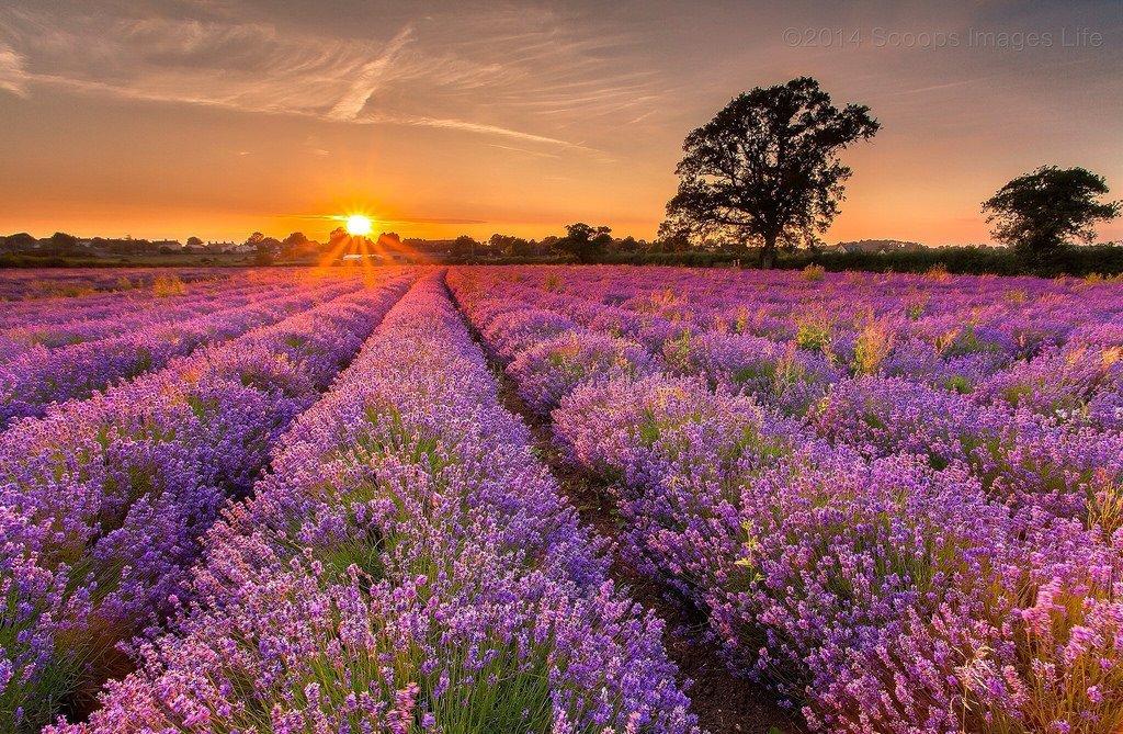 Somerset Lavender fields
