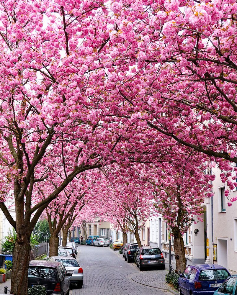 cherry blossom avenue bonn Germany spring destinations