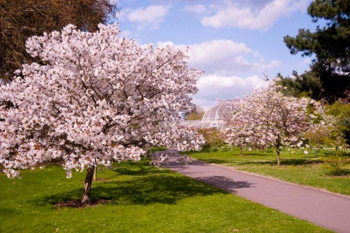 cherry blossom in london kew gardens