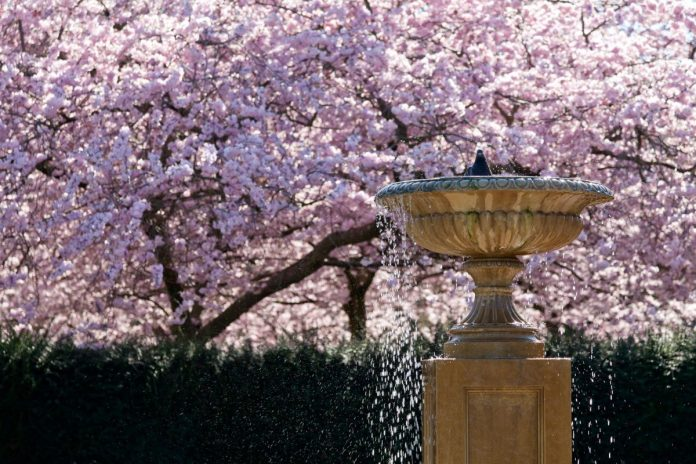cherry blossom in regents park