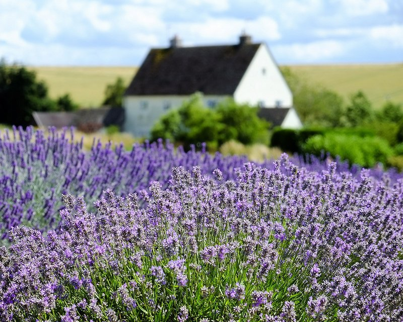 Lavender fields in London Cotsworld