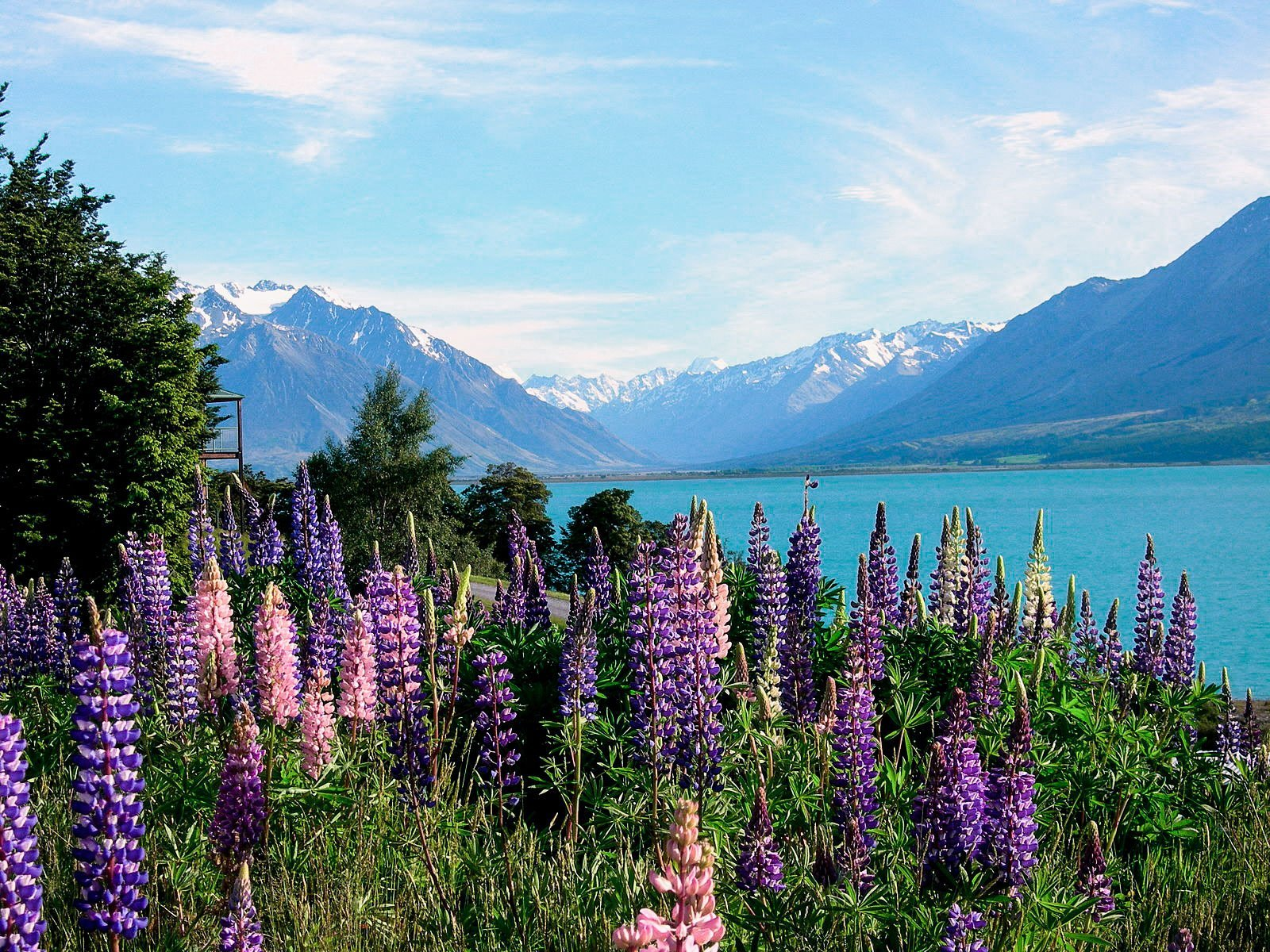 lupins at lake tekapo new zealand best spring destination