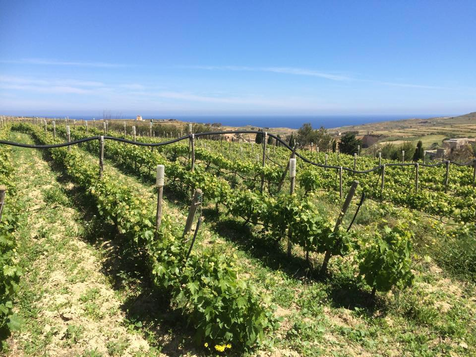 winery and vineyard in gozo
